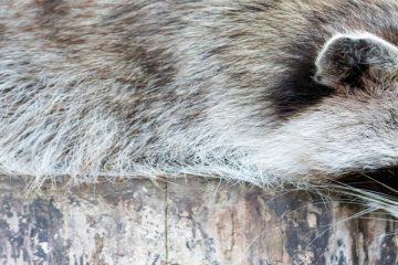קטע קריאה לתלמידי כיתות ה-ו Raccoon Dog Don't let it fool you!